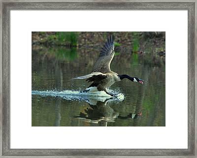 Canada Goose Power Landing - C8139h Framed Print by Paul Lyndon Phillips