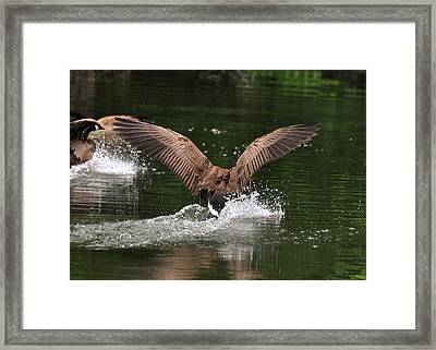 Canada Goose Splash Down  - C2247a Framed Print by Paul Lyndon Phillips