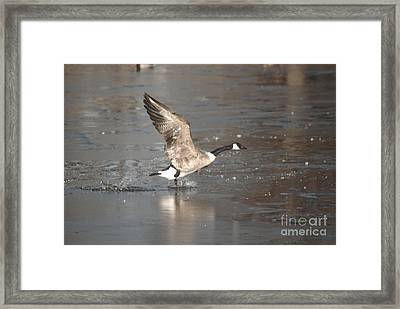 Framed Print featuring the photograph Canada Goose Taking Off by Mark McReynolds