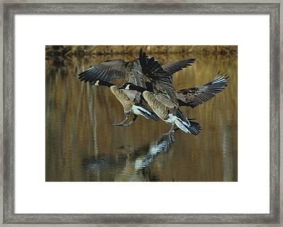 Canada Goose Trio Landing - C0843m Framed Print by Paul Lyndon Phillips