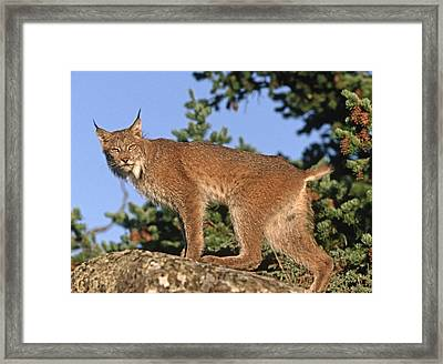 Canada Lynx Climbing On Rock North Framed Print by Tim Fitzharris