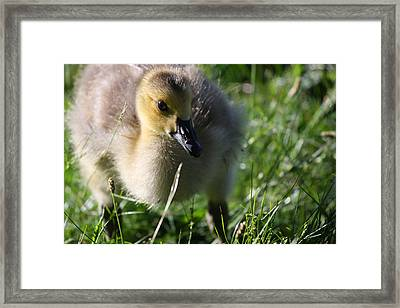 Canadian Chick Framed Print by Karol Livote