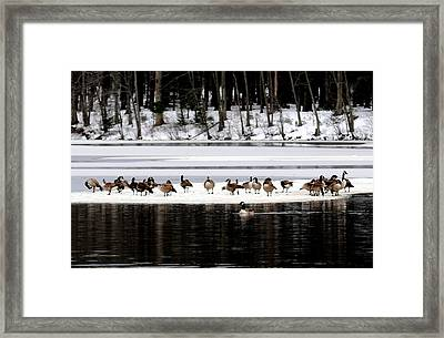 Canadian Gees At Farrington Lake Framed Print by Aron Chervin