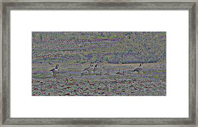 Canadian Geese And Babys Framed Print