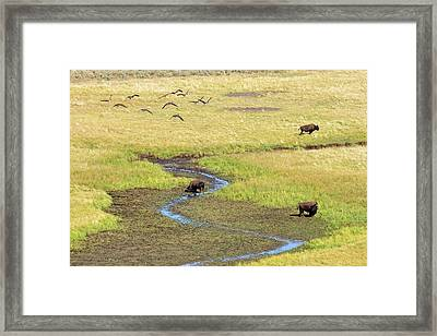 Canadian Geese And Bison, Yellowstone Framed Print