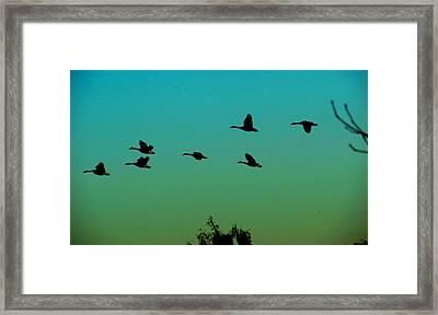 Canadian Geese In Flight Framed Print by David Killian