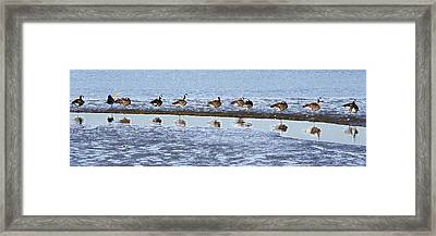 Canadian Geese Line Up Framed Print by Mary Gaines