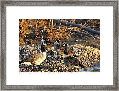 Canadian Geese Framed Print by Todd Hostetter