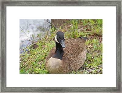 Canadian Goose Resting Framed Print by J Jaiam