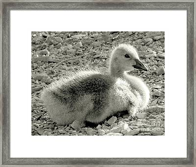 Canadian Gosling Framed Print by Janeen Wassink Searles