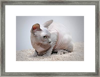 Canadian Sphynx Cat Framed Print by Waldek Dabrowski