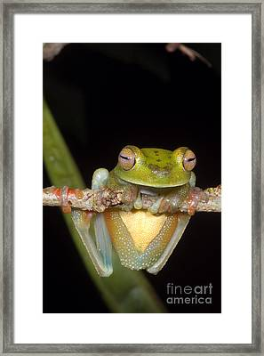 Canal Zone Tree Frog Framed Print by Dante Fenolio