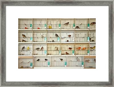 Canary Birds Framed Print by Carlo A