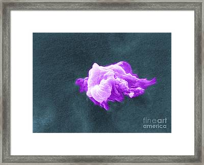 Cancer Cell Death, Sem 6 Of 6 Framed Print by Science Source