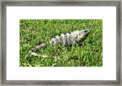 Framed Print featuring the photograph Cancun Eguana by Rob Green