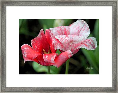 Candy Stripers Framed Print by Suzanne Gaff