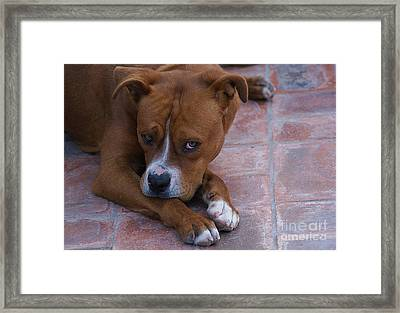 Framed Print featuring the photograph Canelo With His Look by John  Kolenberg