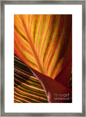 Canna Framed Print by Annette Weiner