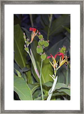 Canna Brasiliensis Framed Print