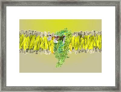 Cannabinoid Receptor Binding, Artwork Framed Print by Ramon Andrade 3dciencia