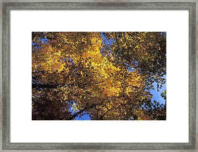 Canopy Of Autumn Branches Framed Print by David Chapman
