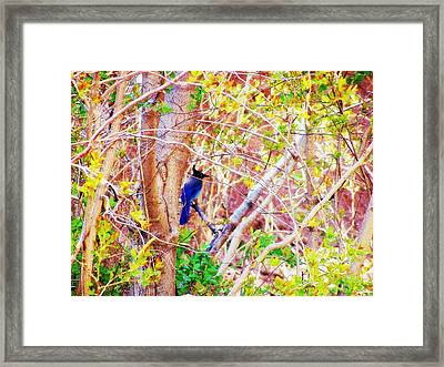 Framed Print featuring the photograph Canyon Jay  by Clarice  Lakota