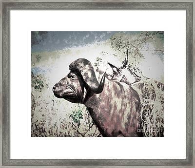 Cape Buffalo Framed Print by Arne Hansen