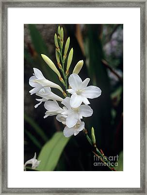 Cape Bugle-lily 'arderne's White' Framed Print by Adrian Thomas
