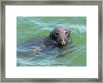 Cape Cod Harbor Seal Framed Print by Juergen Roth