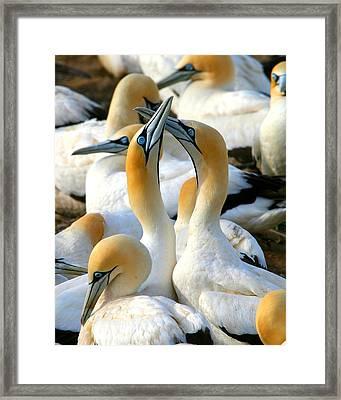 Cape Gannet Courtship Framed Print by Bruce J Robinson