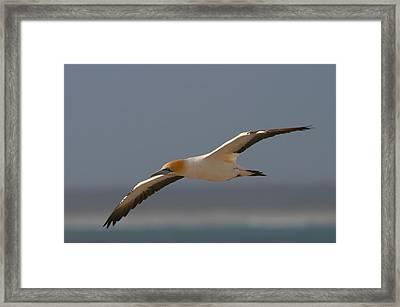 Cape Gannet In Flight Framed Print by Bruce J Robinson