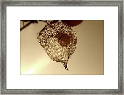 Cape Gooseberry Framed Print by Emanuel Tanjala