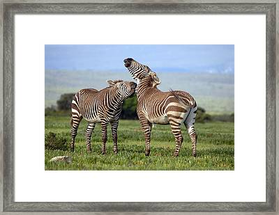 Cape Mountain Zebra Stallions Sparring Framed Print by Peter Chadwick