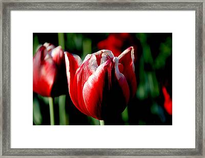 Capital Tulip Framed Print by Christy Phillips