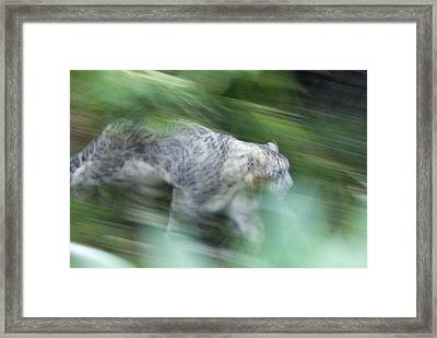 Captive Snow Leopard Panthera Uncia Framed Print by Rich Reid