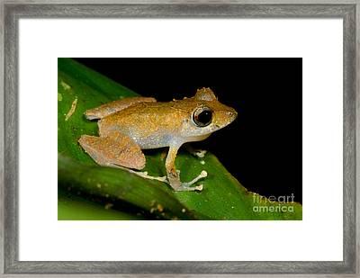 Carabaya Robber Frog Framed Print