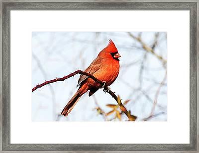 Cardinal 1 Framed Print by Joe Faherty