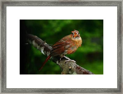 Cardinal Framed Print by Bourbon  Street