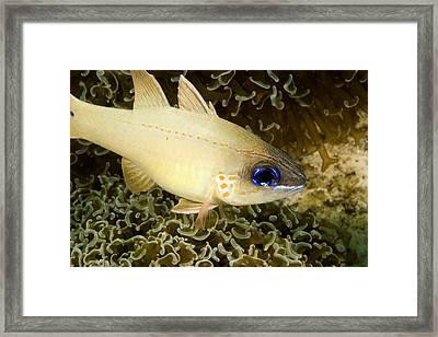 Cardinal Fish Sheltering In Anchor Framed Print by Tim Laman