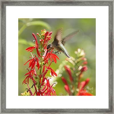 Cardinal Flower And Hummingbird 1 Framed Print
