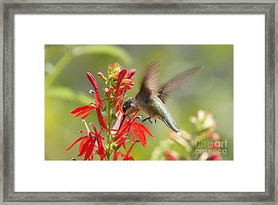 Cardinal Flower And Hummingbird 2 Framed Print