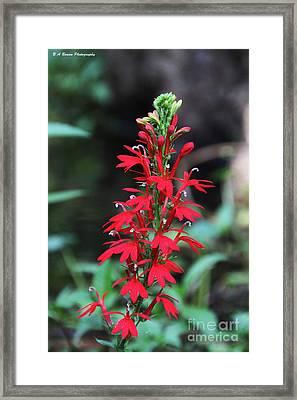 Cardinal Flower Framed Print by Barbara Bowen
