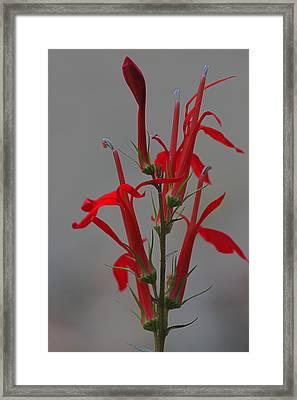 Cardinal Flower Framed Print