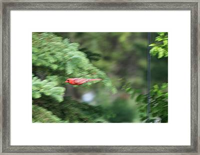 Framed Print featuring the photograph Cardinal In Flight by Thomas Woolworth