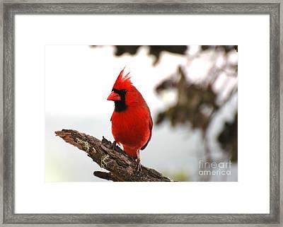 Cardinal In Hawaii Framed Print