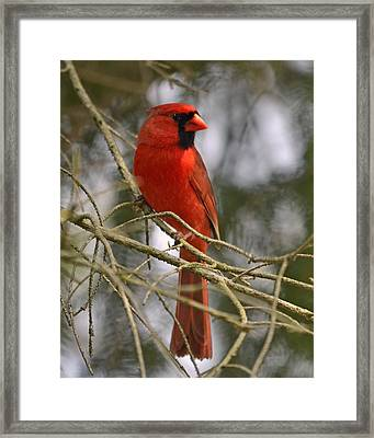 Cardinal In Spruce Framed Print by Ann Bridges