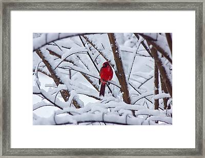 Cardinal In The Snow 2 Framed Print by Barry Jones