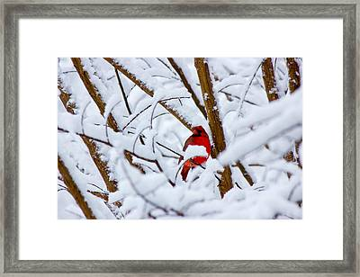 Cardinal In The Snow Framed Print by Barry Jones