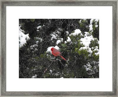 Cardinal In The Snow Framed Print by Rebecca Cearley