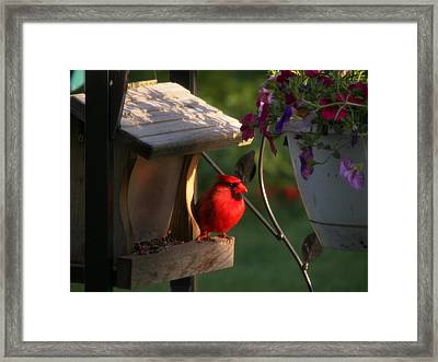 Framed Print featuring the photograph Cardinal by Judy Via-Wolff